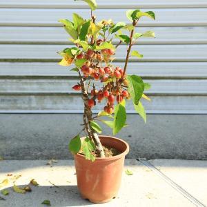 プレゼントにもオススメ 苗:姫りんご(姫美好)*(プラスチック鉢) y-bonsai