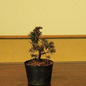 苗:紫杜松*|y-bonsai