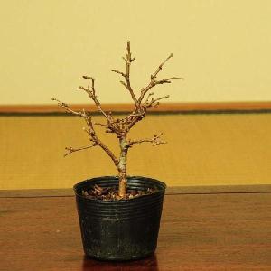 盆栽素材 苗:富士桜(湖上の舞)|y-bonsai