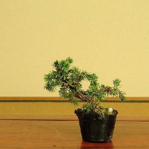 苗:高嶺杜松|y-bonsai