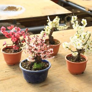 苗:梅 苗(紅梅、白梅)品種いろいろ*|y-bonsai