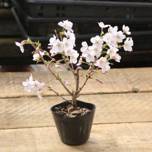 盆栽素材 苗:御殿場桜・太(ごてんばさくら)*鉢に植え替えサービスもあり|y-bonsai