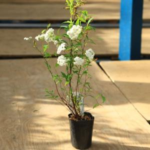 苗:八重咲こでまり*(コデマリ)|y-bonsai