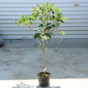 庭木苗:ホンコンドウダンツツジ ピンクシャンデリア|y-bonsai