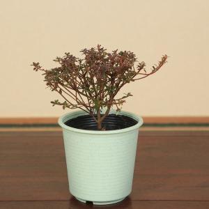 苗:雲仙米つつじ*|y-bonsai