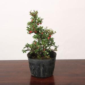 苗:白花したん(曲)*|y-bonsai