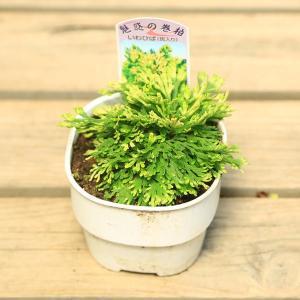 山野草:岩ひば(イワヒバ)九重錦|y-bonsai