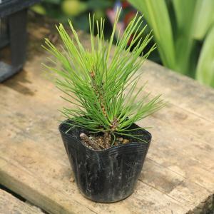 苗:八房黒松(やつふさくろまつ)|y-bonsai