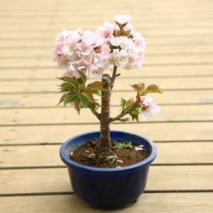 盆栽素材 苗:八重桜(南殿)|y-bonsai