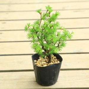 苗:から松(落葉松)カラマツ|y-bonsai