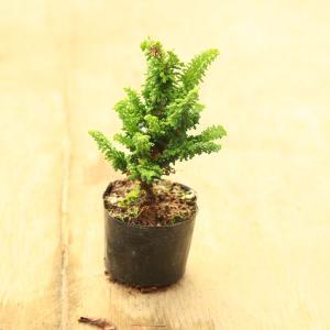 苗・盆栽苗:石化桧 *せっかひのき|y-bonsai