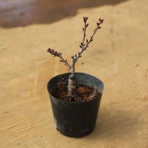 ミニ盆栽素材苗:一才桜(さくら)黒ポット* ぼんさい ボンサイ  さくら盆栽 y-bonsai