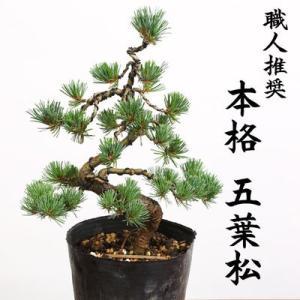 特選苗・植木:五葉松(ごようまつ)*黒ポット 本格派の五葉松の苗が登場です。|y-bonsai