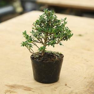 苗・盆栽苗:八房ツゲ(つげ)(ツゲ) 小品盆栽に最適|y-bonsai