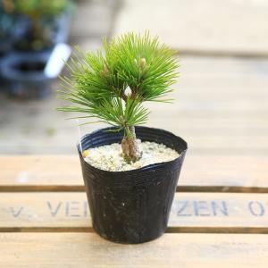 盆栽素材 苗:八房黒松(ヤツフサクロマツ)*大|y-bonsai