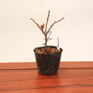 苗:長寿梅(チョウジュバイ)|y-bonsai