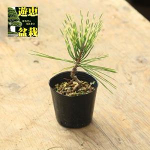 盆栽苗:ジャノメ赤松|y-bonsai