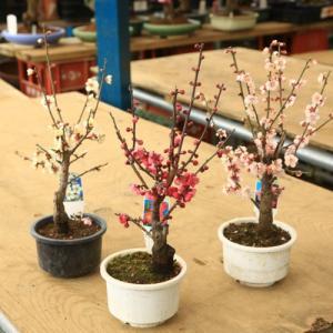 大特価 苗:白梅 一重咲き 4号鉢(開花終了しました)|y-bonsai