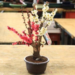 苗:紅白梅(梅の苗木) 5号|y-bonsai