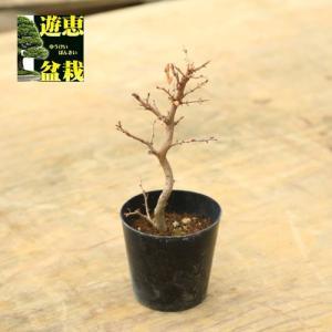 盆栽苗:岩しで|y-bonsai