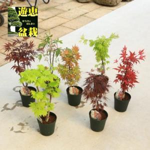苗:もみじ 5号 各種|y-bonsai