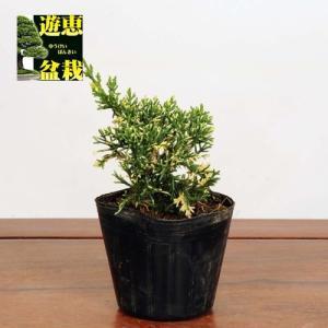 盆栽苗:斑入真柏|y-bonsai