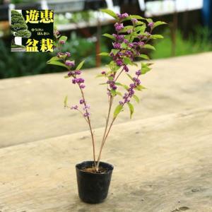 苗:紫式部 (立性)|y-bonsai