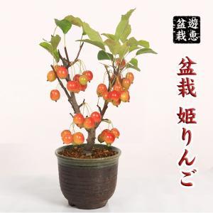 中品盆栽:姫りんご(瀬戸焼鉢)* y-bonsai
