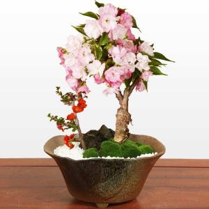 盆栽:桜・長寿梅寄せ植え(瀬戸焼変形鉢)*(2019年開花終了) 鉢植え さくら春お花見 誕生日 祝 旭山桜 ギフト gift プレゼントにも|y-bonsai