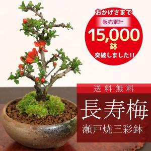 遅れてごめんね 母の日ギフトにも ミニ盆栽:長寿梅*(瀬戸焼三彩鉢) 鉢色選べる 鉢植え 鉢花 祝い ギフト gift 誕生日祝 御祝 プレゼントにも|y-bonsai