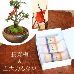 遅れてごめんね 敬老の日 ミニ盆栽:長寿梅&最中(もなか)のスイーツセット*鉢花 祝い ギフト gift 御祝 プレゼントにも|y-bonsai