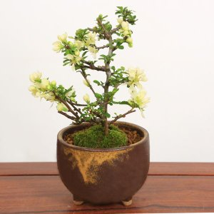 ミニ盆栽:白花長寿梅(信楽焼茶丸足付鉢)*鉢植え 鉢花 祝い 誕生日祝 御祝 プレゼントにも y-bonsai