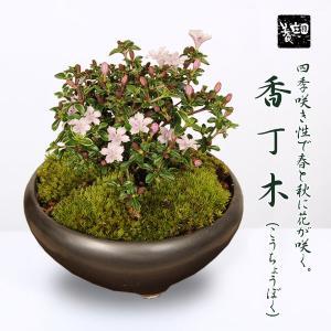 小品盆栽:香丁木(信楽焼伊羅保鉢)* 花  鉢植え 鉢花 プレゼントにも y-bonsai