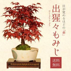 盆栽:出猩々もみじ(瀬戸焼小鉢) *秋 紅葉狩り...の商品画像