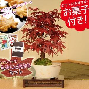遅れてごめんね  敬老の日 盆栽:出猩々もみじ(瀬戸焼小鉢)もみじの天ぷらセット*秋 紅葉狩り祝い ギフト gift 誕生日祝 御祝 プレゼントにも|y-bonsai