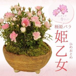 遅れてごめんね 母の日ギフトにも ミニ盆栽:極姫ばら  姫乙女(信楽焼小鉢)* 鉢が選べる 鉢花 鉢植え ミニバラ|y-bonsai