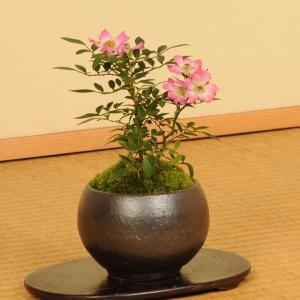 ミニ盆栽:姫ばら 雅(瀬戸焼小鉢)*|y-bonsai