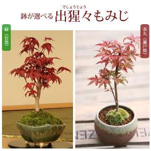 遅れてごめんね 母の日ギフトにも 小品盆栽:出猩々もみじ*(信楽焼鉢 瀬戸焼鉢)鉢が選べる 鉢植え  紅葉狩り プレゼントにも|y-bonsai