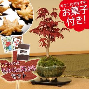小品盆栽:出猩々もみじ(信楽焼鉢)ともみじの天ぷらセット*紅葉の名所大阪府箕面市の伝統のお菓子 秋 味覚 紅葉狩り 祝い ギフト 誕生日祝 御祝 プレゼントにも|y-bonsai