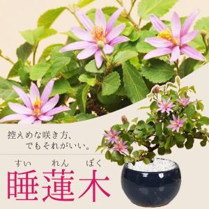 ミニ盆栽:睡蓮木(信楽焼鉢)*すいれんぼく 鉢花 鉢植え プレゼントにも y-bonsai