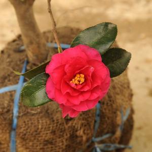 庭木:寒椿 獅子頭・寒椿 y-bonsai