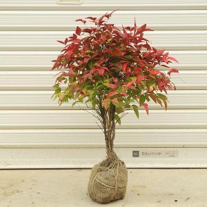 庭木:南天(お多福南天)おたふくなんてん 大|y-bonsai