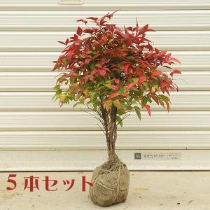 庭木:南天(お多福南天・大)5本セット*お得  (まとめ割)|y-bonsai