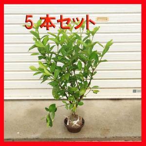 庭木:梔子(クチナシ)くちなし 5本セット*お得 (まとめ割) y-bonsai