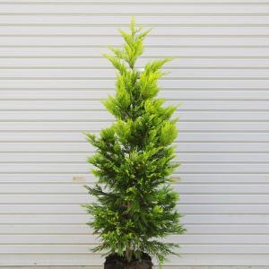 庭木:コニファー(ゴールドライダー)* 樹高:約150cm 全高:約170cm 佐川急便(大型商品)発送|y-bonsai