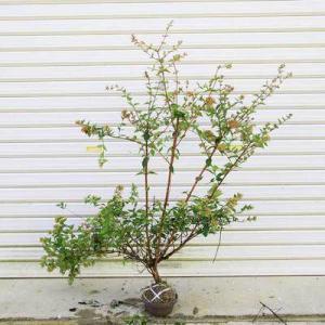 強健な生垣をお探しなら・・・庭木:アベリア(あべりあ)*|y-bonsai