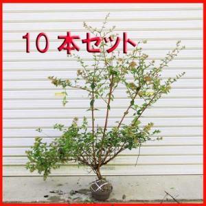 庭木:アベリア(あべりあ)10本セット*お得 (まとめ割)