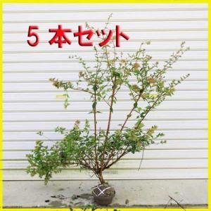 庭木:アベリア(あべりあ)5本セット*お得 (まとめ割)|y-bonsai