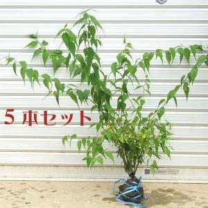 庭木:ヤマブキ(山吹)(黄色八重)5本セット*お得 (まとめ割)|y-bonsai