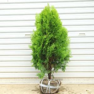 庭木:コニファー(コノテヒバ)|y-bonsai